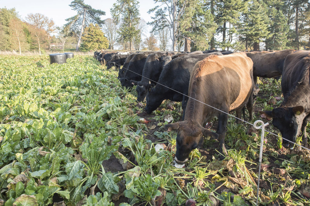 Dry cows out-wintered on fodder beet (1)