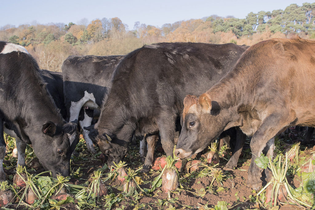 Dry cows out-wintered on fodder beet (3)