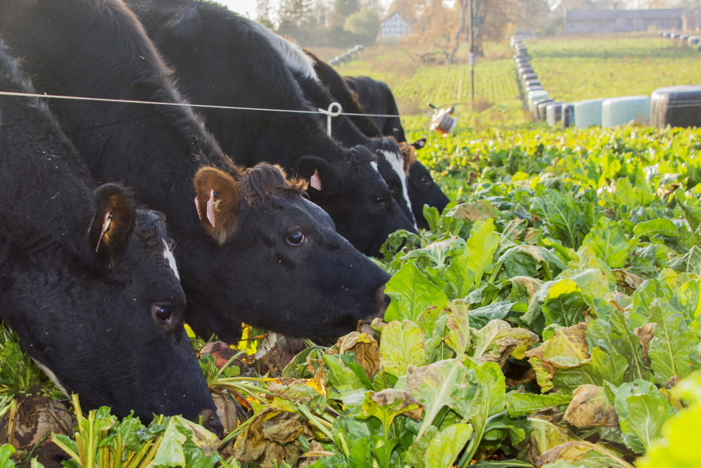 Dry cows out-wintered on fodder beet (12)